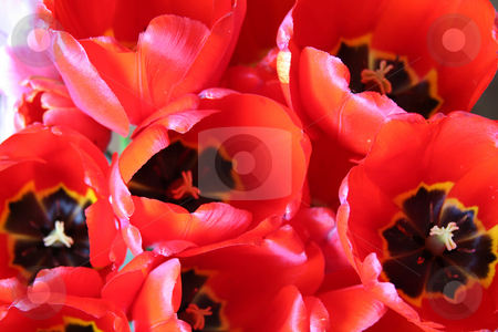 Tulips stock photo, Background of red tulip flowers by Olga Lipatova