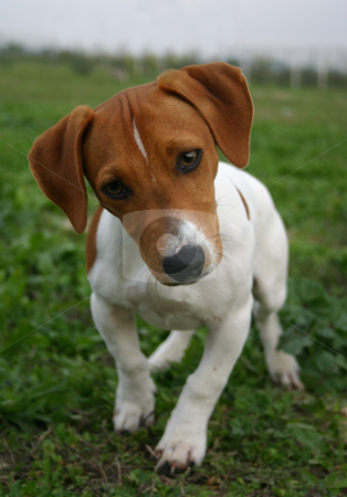 Puppy jack russel terrier stock photo, Portrait of a puppy jack russel terrier by Bonzami Emmanuelle