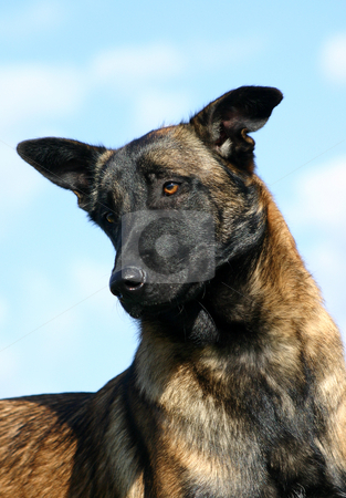 Malinois stock photo, Portrait of a purebred belgian shepherd malinois by Bonzami Emmanuelle