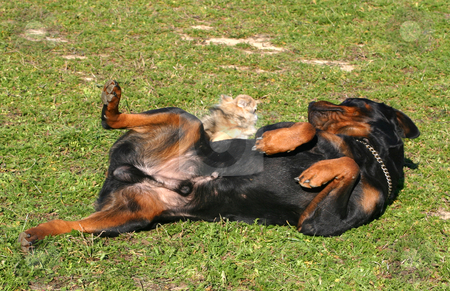 Rottweiler and chihuahua stock photo, Rottweiler and chihuahua laid