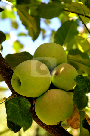 Green Apple stock photo, Green apples on a tree clustered together in the shade of the leaves as harvest time nears. by Lynn Bendickson
