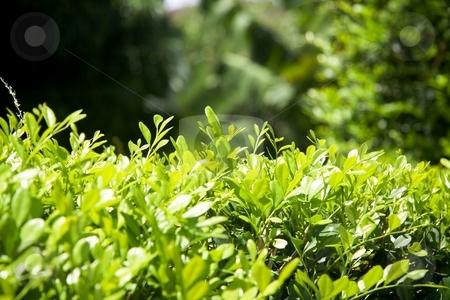 Fresh bushy green leaves. stock photo, Fresh green bushy leaves background in the wood by Gowtum Bachoo