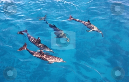 Group of dolphins in the sea stock photo, Group of playful dolphins in the bright blue sea by Oleg Blazhyievskyi