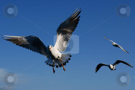 Flying seagull stock photo, A close up of seagull in Turkey by Marco Tomasini