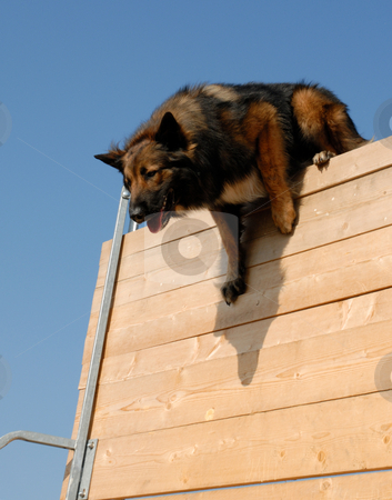 Sportive belgian shepherd stock photo, Beautiful purebred belgian shepherd tervuren in a jump of competition by Bonzami Emmanuelle