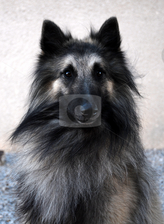 Tervueren stock photo, Portrait of purebred tervueren by Bonzami Emmanuelle