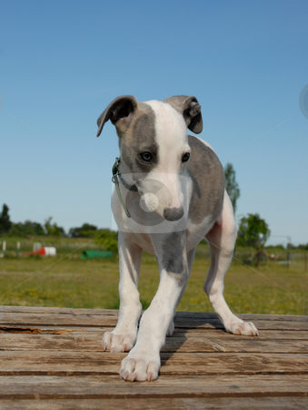 Young whippet stock photo, Portrait of a puppy whippet by Bonzami Emmanuelle