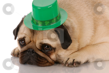 St. Patricks day dog stock photo, Fawn pug wearing st patricks day hat on white background by John McAllister