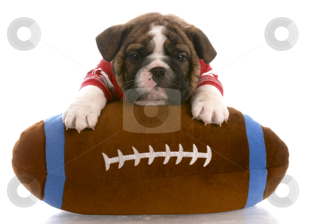 Sports hound stock photo, English bulldog puppy wearing red jersey laying on stuffed football by John McAllister