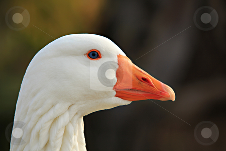 Beautiful Goose Portrait stock photo, Good Portrait by Dion Altamirano