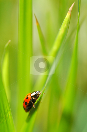 Ladybug stock photo, An uphill struggle for a tiny ladybug by Steve Mann