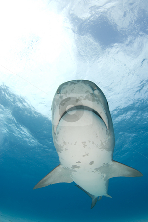 Tiger Shark Swims Overhead stock photo, Tiger Shark swims by at Tiger Beach in the Bahamas. by A Cotton Photo