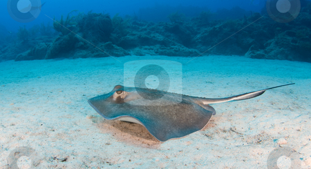 Swimming Sting Ray stock photo, A sting ray swims along the ocean floor with the coral reef in the distance by A Cotton Photo