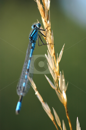 Damselfly stock photo, Marco of a damselfly on vegetation by Steve Mann