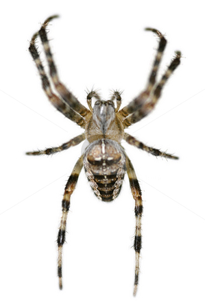 Arachnophobia stock photo, Common british garden spider on white by Steve Mann