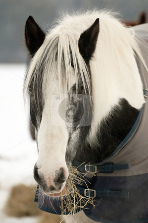 Pony feeding stock photo, Horse eating hay in a snow covered paddock by Steve Mann