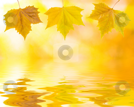 Beautiful golden leaves stock photo, Beautiful golden leaves in autumn with reflection by Julian Weber