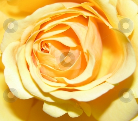 A large rose stock photo, A large yellow rose seen up close by Tim Markley