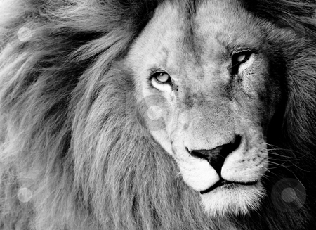 Lion stock photo, Close up of Male Lion, B&W by Viv Van der Holst