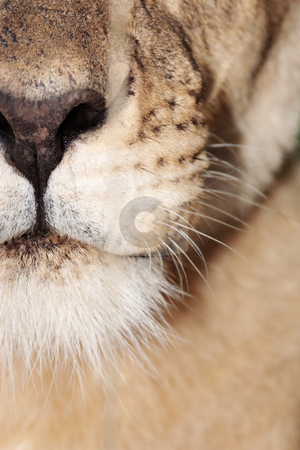 Bite stock photo, Closeup of lioness mouth by Viv Van der Holst