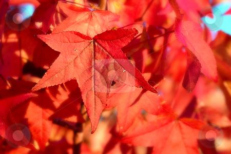 Red autumn leaves stock photo, Great image of red autumn leaves by Phil Morley