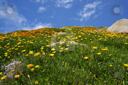 Field of flowers stock photo, Wild flowers in front of a blue sky by Greg Peterson