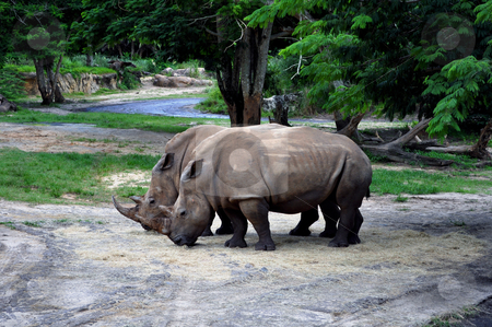 Rhinoceros in the wild. stock photo, High resolution photo of two rhinos in the wild. by Fernando Barozza