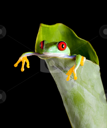 Frog in banana leaf stock photo, One inch red-eyed tree frog in a fresh banana leaf by Anneke