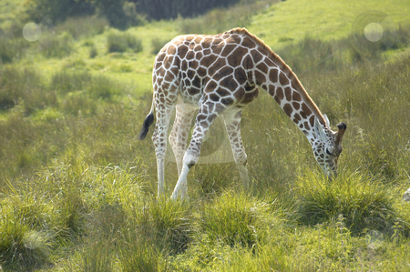 Giraffe stock photo, A Giraffe feeding on the grass in wildlife park in England by Mark Bond