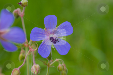Wild geranium stock photo,  by Bo Valentino