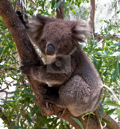 Koala Bear in tree stock photo, Close up of Koala Bear in Australian Eucalyptus tree by Steven Heap