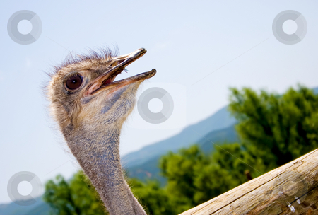 Ostrich stock photo, Portrait of an ostrich by Nikola Spasenoski