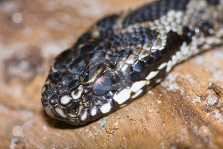 Adder stock photo,  by Bo Valentino