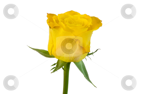 Yellow rose stock photo,  by Bo Valentino