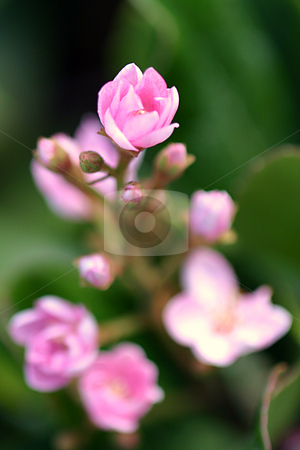Tiny Pink stock photo, Little tiny pink flower on a natural green background. by Henrik Lehnerer