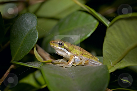 Litoria fallax stock photo, A dwarf green tree frog litoria fallax sitting on a bush by Phil Morley