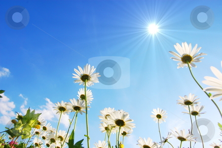 Daisy flower under blue sky stock photo, Daisy flowers from below under blue sky in summer by Gunnar Pippel