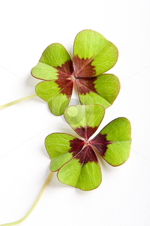 Twice lucky stock photo, Two four-leaf clovers bringing luck twice by Anneke