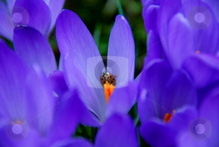 Ladybird stock photo, Ladybird on purple crocus leaf in spring by Valentyna Chukhlyebova 