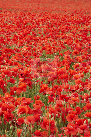 Poppies stock photo, A field of poppies in the Kent countryside by Mark Bond