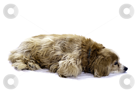 Cockapoo  stock photo, A cockapoo lying on the floor, isolated against a white background. by Richard Nelson