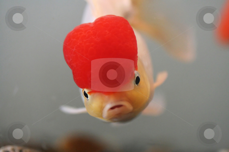 Goldfish stock photo, Red cap goldfish, close up by Suprijono Suharjoto
