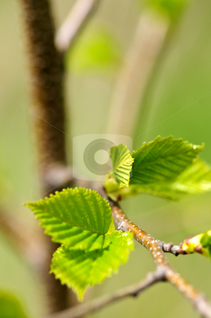 Green spring leaves stock photo, Green spring leaves budding new life in clean environment by Elena Elisseeva