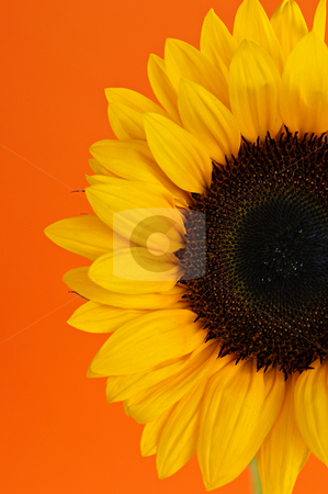 Sunflower closeup stock photo, Close up of sunflower flower on orange background by Elena Elisseeva