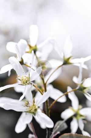 Gentle white spring flowers stock photo, Gentle white spring flowers of the serviceberry shrub by Elena Elisseeva