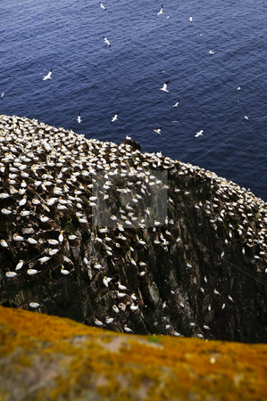 Gannets at Cape St. Mary's Ecological Bird Sanctuary stock photo, Northern gannets at Cape St. Mary's Ecological Bird Sanctuary in Newfoundland by Elena Elisseeva