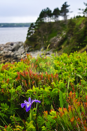 Blue flag iris flower at Atlantic coast stock photo, Blue flag iris wild flower at Atlantic coast in Newfoundland Canada by Elena Elisseeva