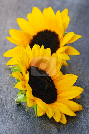 Sunflower blossoms stock photo, Closeup of two yellow and black sunflower heads by Elena Elisseeva