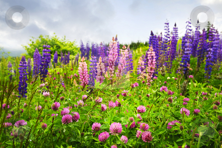 Purple and pink wildflowers stock photo, Purple and pink clover and garden lupin wildflowers in Newfoundland by Elena Elisseeva