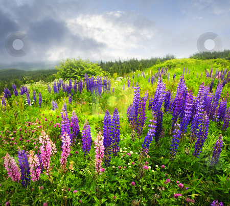 Purple and pink garden lupin flowers stock photo, Purple and pink garden lupin wild flowers in Newfoundland by Elena Elisseeva